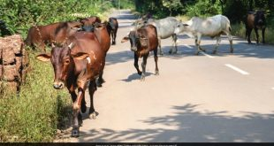 cow-cattle-road-generic-istock_650x400_71496719999